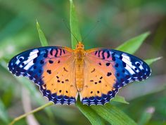 The Indian Fritillary, female (Argynnis hyperbius) is butterfly of the Nymphalid or brush-footed butterfly family.