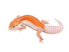 Leopard geckos, Geckos and Leopards on Pinterest