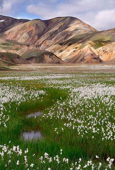 Cotton grass fields of Landmannalaugar, Iceland. I think cotton grass is my favourite plant.