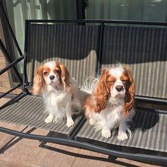今日はとっても温かい日でした。2匹揃ってブランコで日向ぼっこ #キャバリア #ブレンハイム #キャバリア部 #dog #フワモコ #愛犬 #犬のいる生活に #キャバリアキングチャールズスパニエル #cavlife #cavalier #blenheim #🐶 #dogslovers #cavliers #CKC #kingcharls #puppy #cute #cavstyle #cavstagram #dogofthday #dogsofinstagram #ckcs #funnypuppy