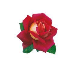 Róża wielkokwiatowa - Rosa 'Kronenburg'