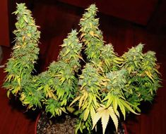 Beautiful example of LST (low stress training) - look at those thick colas!