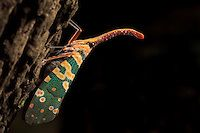 Lantern Bug (Laternaria candelaria) perched on trunk. Khao Yai National Park. Thailand.  http://deepwildphoto.photoshelter.com