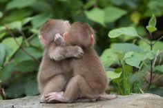 Snow Monkey Babies' Play Time