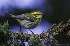 Townsend's Warbler - Female [Explored] by Bob Gunderson