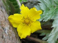 Potentilla It is one of the most commonly grown summer flower. The plant grows very easily and bright yellow colour can make your garden look colourful.