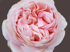 Wans Roses, ROYAL BEAUTIES®, Angie Romantica Sweet