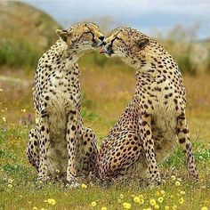 hd Photography by @ (Martin Groth). Met these two amazing cheetahs. I Love Cats, Big Cats, Cats And Kittens, Cute Cats, Siamese Cats, Animals And Pets, Baby Animals, Cute Animals, Wild Animals