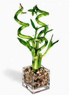 plantas-que-exigem-poucos-cuidados-bambu-da-sorte