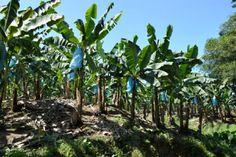 Learn about the banana industry