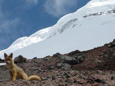 Cotopaxi fox (Paramo wolf) #Cotopaxi #terrasenses #uniqueplaces #volcano #ecuador #allyouneedisecuador