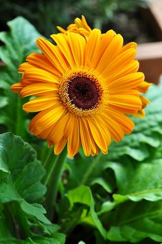 Gerber Daisy - they say annual on the tag, but if you plant them they come back each year.