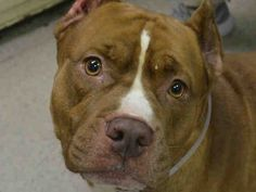 PULLED BY SECOND CHANCE RESCUE - 07/24/15 - TO BE DESTROYED - 07/18/15 - BULLET - #A1042716 - Urgent Manhattan - MALE BROWN STAFFORDSHIRE MIX, 6 Yrs - OWNER SUR - EVALUATE NO HOLD Reason PERS PROB Intake Date 07/03/15