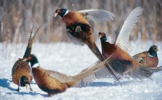 Love pheasants. They taste good and their feathers are useful.