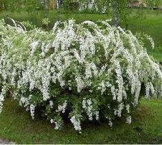 Spiraea x cinerea Grefsheim - Spirée - Pépinière, plantes, jardinerie, vente en ligne