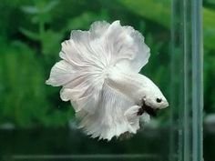 White Japanese Fighting Fish - Betta Splenden or Siamese Fighting Fish.  Picking out a bowl for this splendid creature would be fun.