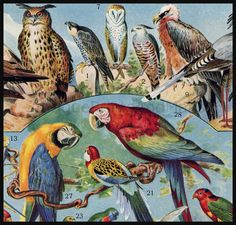 Bird Breeds Hummingbirds Parrots Hawks antique French chromolithograph.
