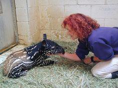 heidi-frohring-and-tapir-calf-20-oct-2003-woodland-park-zoo-ml.jpg (800×600)