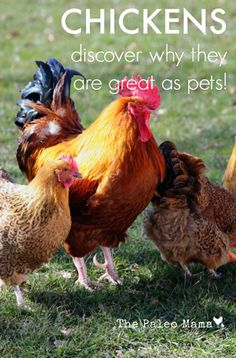 Chickens: Discover Why They Are Great As Pets | The Paleo Mama