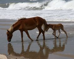 Corolla Wild Horses Outer Banks NC. Village Realty OBX