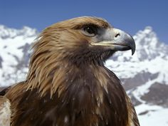Europe's eagles under threat from vulture-killing drug. A drug that has already obliterated many of India's vultures is now threatening eagles and vultures in Europe and Africa. Golden eagles may be among the species at risk. Eagle Wallpaper, Tier Wallpaper, Animal Wallpaper, Nature Wallpaper, Beautiful Birds, Animals Beautiful, Cute Animals, Beautiful Things, Eagle Facts