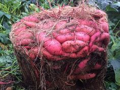 Garden Design Rustic How to Grow a Massive Sweet Potato Harvest With DIY Containers - Gardening Channel.Garden Design Rustic How to Grow a Massive Sweet Potato Harvest With DIY Containers - Gardening Channel Garden Types, Growing Plants, Growing Vegetables, Regrow Vegetables, Growing Fruit Trees, Growing Tomatoes, Do It Yourself Garten, Potato Gardening, Planting Potatoes