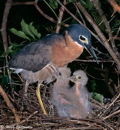 White-backed Night-Heron with 2 week old chicks. - White-backed Night Heron (Gorsachius leuconotus) is a species of heron in the Ardeidae family. This relatively small and dark night heron is found throughout a large part of sub-Saharan Africa.