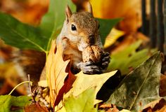 A squirrel eats a nut among a pile of autumn leaves at St James's Park in London on Oct. 27. (Luke Macgregor/Reuters)