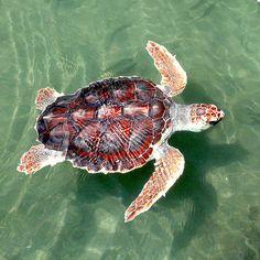 Loggerhead Sea Turtle (Caretta caretta), This oceanic turtle distributed throughout the world. Sea Turtle Nest, Turtle Love, Turtle Shells, Happy Turtle, Reptiles, Sea Turtle Facts, Endangered Sea Turtles, Loggerhead Turtle, Turtle Conservation