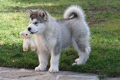 """misterwooff: """" Alaskan Malamute_Cobali_Austrian_Wolf by giardeto on Flickr. """""""