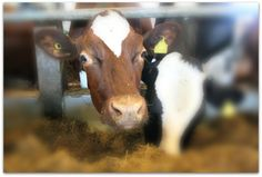 #Dairy #cow in #Finland. #ag Agriculture, Finland, Cow, Dairy, Friday, Animals, Animales, Animaux, Animal Memes