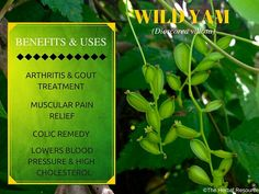 Wild Yam (Dioscorea villosa) More info: http://www.herbal-supplement-resource.com/wild-yam-root.html This herb has antispasmodic and anti-inflammatory properties and it has been used for treating symptoms of rheumatism and arthritis. These same qualities are though to make it useful in treating cramps and muscular pain