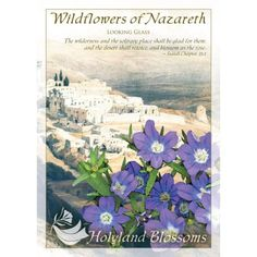 http://www.holylandblossoms.com/the_looking_glass#.UWstpbVJOAg #TheLookingGlass #WildflowersofNazareth #HolylandBlossoms