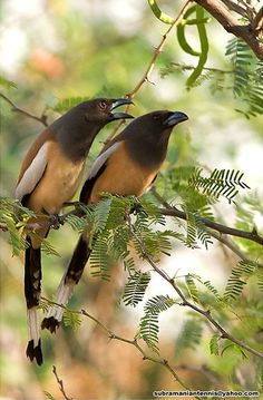 The Rufous Treepie (Dendrocitta vagabunda) is a treepie, native to the Indian Subcontinent and adjoining parts of Southeast Asia. It is a member of the Corvidae (crow) family. It is long tailed and has loud musical calls making it very conspicuous. It is found commonly in open scrub, agricultural areas, forests as well as urban gardens. Like other corvids it is very adaptable, omnivorous and opportunistic in feeding.