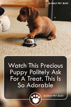 Maddie the Dachshund has the most adorable way to ask for a treat. Cute Pupies, Puppy Barking, Cat Hacks, Long Haired Dachshund, Cute Funny Dogs, Puppy Play, Training Your Puppy, Old Dogs, Baby Dogs