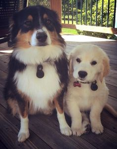 Mini Australian shepherd, golden retriever puppy. My dogs.