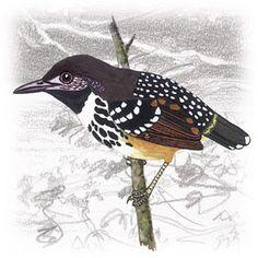 Guarda-Várzea (Hylophylax punctulata)