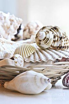 Seashells Photograph  - Seashells Fine Art Print