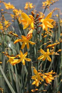 """Crocosmia """"Solfaterre""""  I have 4 varieties of crocosmia. The yellows don't multiply as rapidly as the orange ones do.  Great summer color. No fragrance.  Deer don't touch them."""