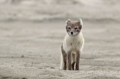 Fox Pup In A Wind