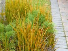 Libertia Perigrinnans - found on www.gardeningsolutionz.co.nz and Landscape Essentials Hawera