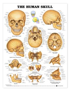 The Human Skull (Labelled)