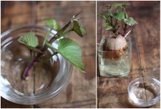 How To: Plant Sweet Potatoes Indoors    As promised, we're back with a final indoor planting project for the week. Our kitchen window is beginning to get overrun with plants in various stages and we're loving it.      We've decided to try our hands at growing sweet potatoes — we've really got nothing to lose other than half a potato if we fail. After picking up 3 more large sweet potatoes over the weekend to make more of our own sweet potato dog chews, we decided to see if we couldn't try to…