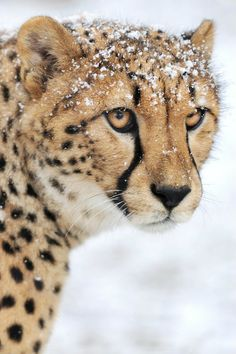 Cheetah With a Little Snow Dusting on its Head.