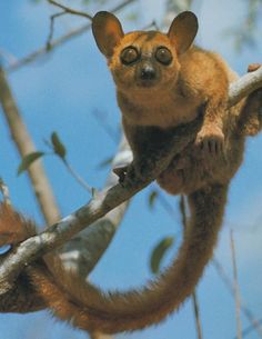 white-footed Sportive lemur - The sportive lemurs are the medium sized primates that make up the Lepilemuridae family. The family consists of only one extant genus, Lepilemur. They are closely related to the other lemurs and exclusively live on the island of Madagascar.
