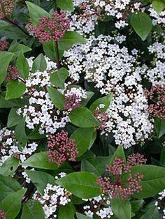 Winterharde struiken met witte bloemen