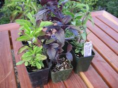 Herbs aren't just for the windowsill anymore. Find out how basil, chives, rosemary and thyme can work double duty in the landscape as ornamentals, edibles and structural plants.