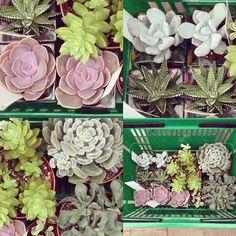 Couldn't help myself, they are my biggest weakness! #succulents #succulentsofinstagram #succulent #succulove #succulent_obsession #succulentjunkie #euphorbia #succulent_addict #graptosedum #plant #longacres #echeveria #sempervivum #sedum #gardencenter #modernplants #indoorplants