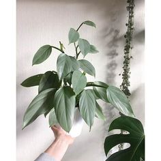 Houseplants for Better Sleep Philodendron Hastatum Green Bubble, Inside Plants, House Plants Decor, Plants Are Friends, Cactus Y Suculentas, Outdoor Plants, Tropical Plants, Indoor Garden, Houseplants