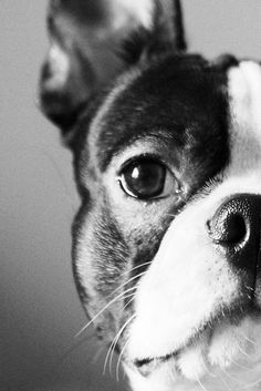 Boston Terrier, half face close up